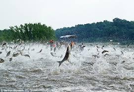 Aisian carp