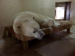 Polar Bear hammock 1