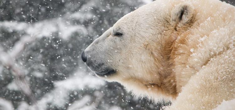 polar bears don t hibernate habitat doesn t close for. Black Bedroom Furniture Sets. Home Design Ideas